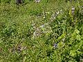 Silene vulgaris (7814721778).jpg