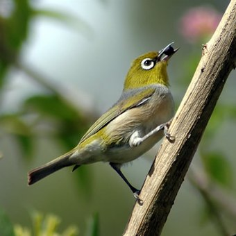 The silvereye is one of several species of birds that have introduced themselves to New Zealand in the wake of human settlement. Silvereye3.jpg