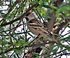 Small patterned brown bird in a thick bush