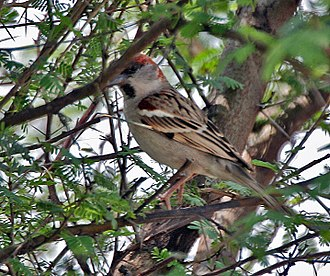 Sind sparrow - Male at  Sultanpur National Park, in India