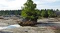 Single Pine Tree (5572347952).jpg