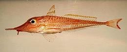 Slender searobin ( Peristedion gracile ).jpg