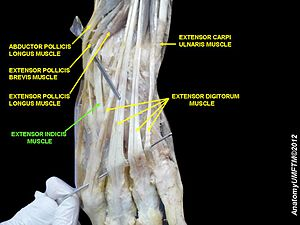 Extensor indicis muscle