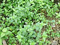 Small Chinese violet (Asystasia gangetica subsp micrantha) habit.jpg