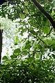 Smilax canariensis.jpg