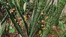 Snake Plant (Sansevieria trifasciata) with fruit 1.jpg