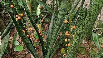 Sansevieria trifasciata - Feral Sansevieria trifasciata with fruits