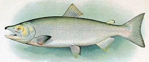 Sockeye salmon - Male ocean-phase sockeye