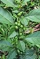 Solanum diphyllum4.jpg