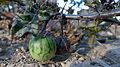 Solanum prinophyllum green berry (14792865430).jpg