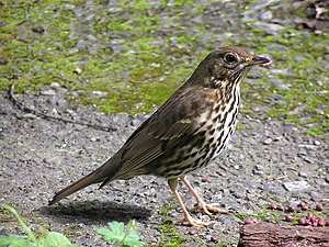 Song Thrush in Wellington, New Zealand (introd...