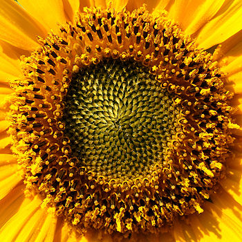 SunflowerThe sunflower (Helianthus annuus) is an annual plant in the family Asteraceae and native to the Americas, with a large flowering head (inflorescence).