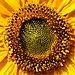 Sonnenblume Helianthus 2.JPG