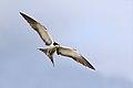 Sooty Tern (Onychoprion fuscatus) (38141628415).jpg