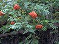 Sorbus aucuparia11.jpg