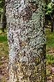 Sorbus aucuparia in Hackfalls Arboretum.jpg