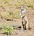 South African Ground Squirrel (Xerus inauris) male (32902703621).jpg