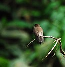 Southern Rough-winged Swallow.jpg