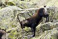 Spanish Ibex AdeFrias.jpg