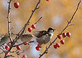 Sparrows crabapple tree unsharpnd.jpg