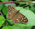 Speckled Wood. Pararge aegeria (tircis^) - Flickr - gailhampshire.jpg