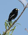 Spectacled Tyrant (Hymenops perspicillatus) - Flickr - Lip Kee.jpg