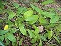 Sphenodesme paniculata 01.JPG