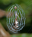 Spider net in Narshapur, AP W2 IMG 0788.jpg