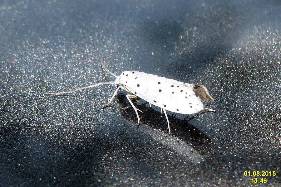 UK 0427 - 16.004 Yponomeuta cagnagella - předivka brslenová - priadzovec mukyňový - namiotnik trzmieliniaczek - pókhalos kecskerágómoly.