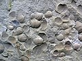 Spirifer invalidistriatus (fossil brachiopods) (Byer Sandstone, Lower Mississippian; Black Hand Gorge, Ohio, USA) 3 (38649187891).jpg