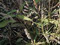 Spodiopogon rhizophorus (5284876703).jpg