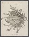 Spondylus americanus - - Print - Iconographia Zoologica - Special Collections University of Amsterdam - UBAINV0274 074 10 0006.tif