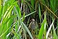 Spotted Crake (Porzana porzana) (25921850293).jpg
