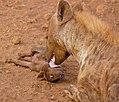 Spotted Hyaenas (Crocuta crocuta) female and cub ... (33067168202).jpg