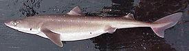 Единственная акула Черного моря - катран.  Этот трусишка боится людей и...