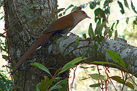 Squirrel cuckoo 2