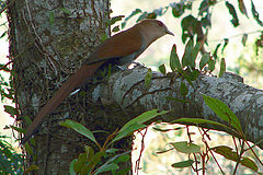 Squirrel cuckoo 2.JPG