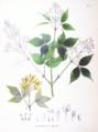 Staphylea bumalda SZ95.png
