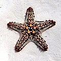 Star Fish (207368375).jpeg