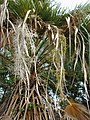 Starr-010914-0056-Washingtonia robusta-flower pannicle-Lahaina-Maui (23913981334).jpg