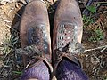Starr-020319-0026-Bidens pilosa-on shoelaces-Puu o Kali-Maui (24521962966).jpg
