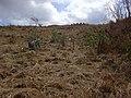 Starr-030521-0053-Myoporum sandwicense-weeding-Lua Makika-Kahoolawe (24608135846).jpg