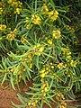 Starr-050525-1927-Acacia confusa-flowering habit-Water catchment-Kahoolawe (24135222233).jpg