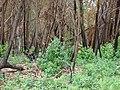 Starr-070908-9286-Eucalyptus globulus-rebounding after fire and carpets of seedlings-Polipoli-Maui (24775022622).jpg