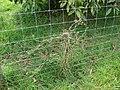Starr-090408-5654-Solanum americanum-along fence-Piiholo-Maui (24324327303).jpg