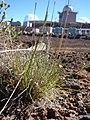 Starr-090504-7168-Festuca rubra-habit-Science City-Maui (24327192543).jpg