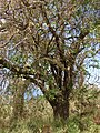 Starr-090601-8707-Tamarindus indica-habit-Ulupalakua-Maui (24868455591).jpg