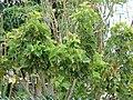 Starr-090608-9051-Jatropha curcas-habit-Waikapu-Maui (24335949673).jpg
