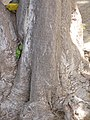 Starr-090813-4204-Cupaniopsis anacardioides-bark-Kahului-Maui (24853505102).jpg