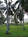 Starr-091104-0744-Cocos nucifera-habit-Kahanu Gardens NTBG Kaeleku Hana-Maui (24894211631).jpg